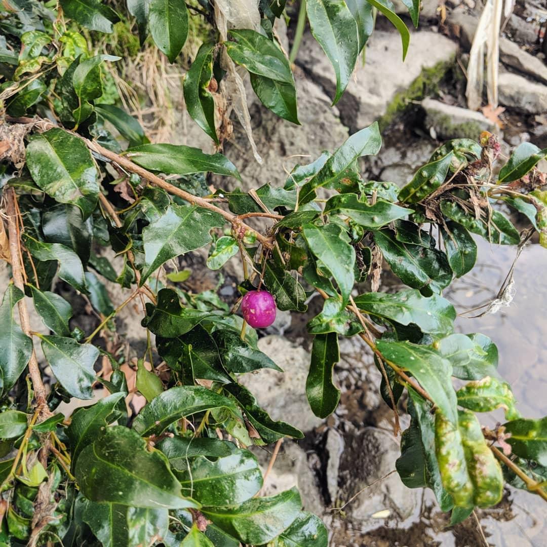 Lilly Pilly (<em>Syzygium smithii</em>)