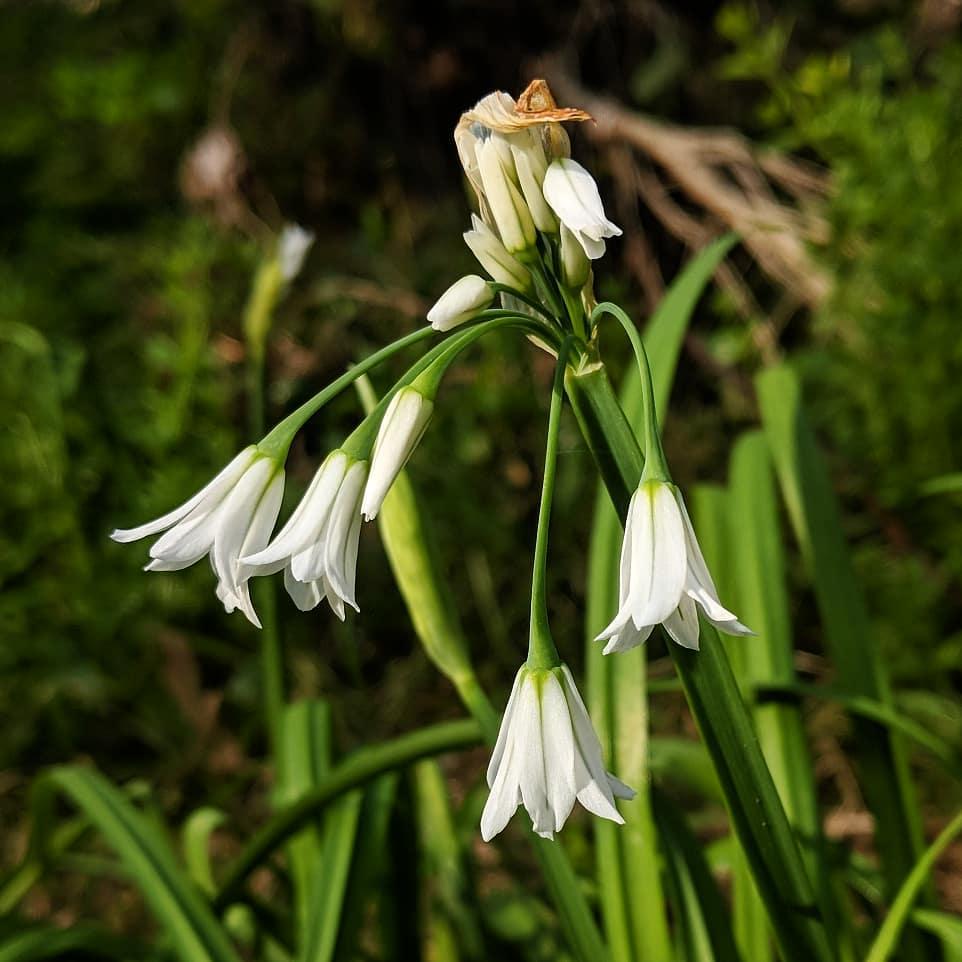Angled Onion (<em>Allium triquetrum</em>)