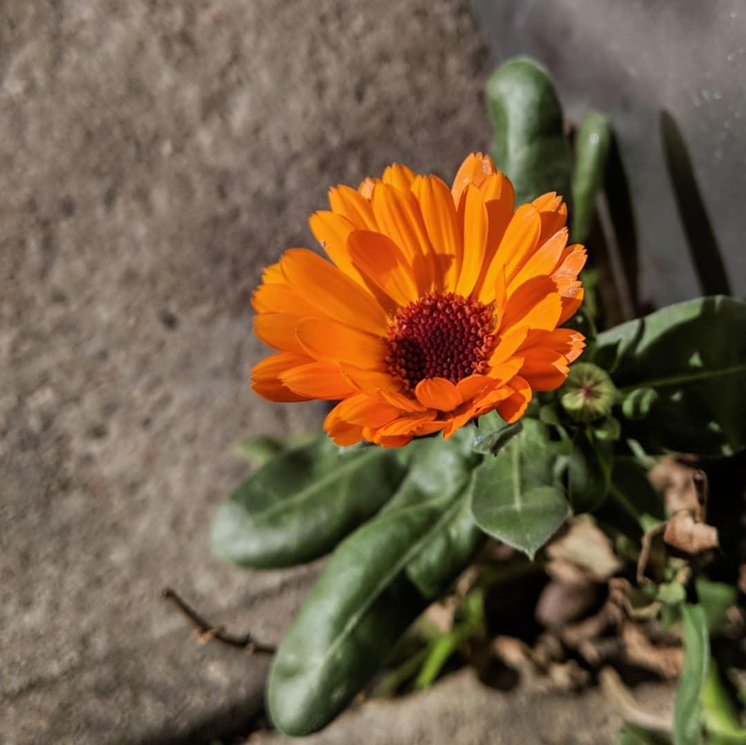 Garden Marigold (<em>Calendula officinalis</em>)