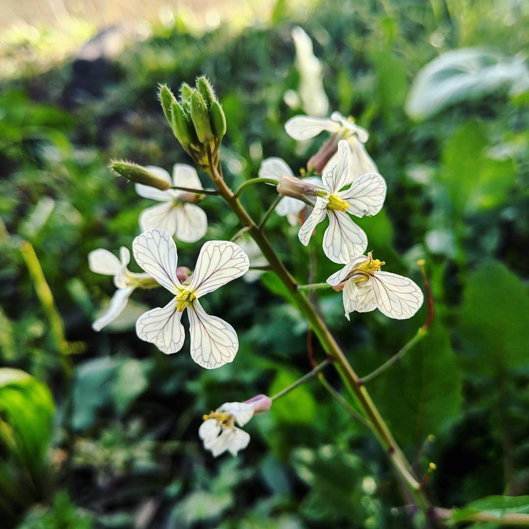 Wild radish (<em>Raphanus raphanistrum</em>)