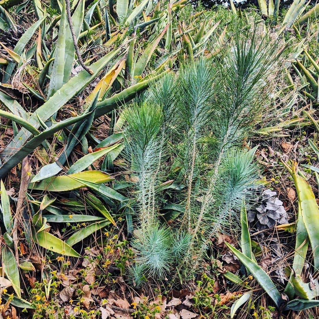 Canary Island Pine (<em>Pinus canariensis</em>)