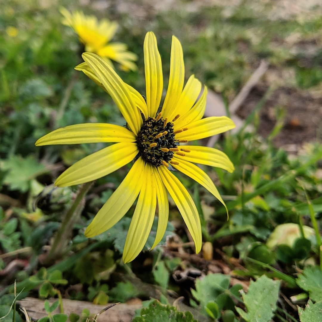Capeweed (<em>Arctotheca calendula</em>)