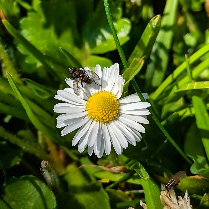 English Daisy (<em>Bellis perennis</em>)
