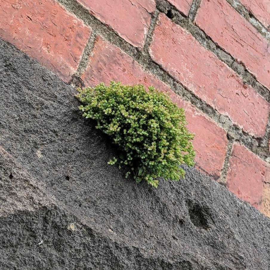 Four-leaved Allseed (<em>Polycarpon tetraphyllum</em>)