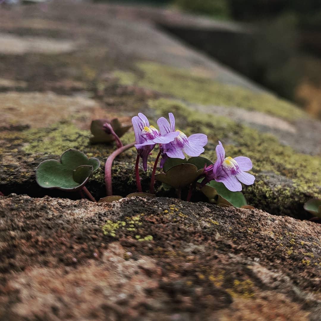Ivy-leaved Toadflax (<em>Cymbalaria muralis</em>)