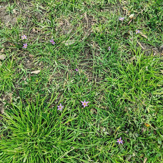 Onion-grass (Romulea rosea) - Weeds of Melbourne