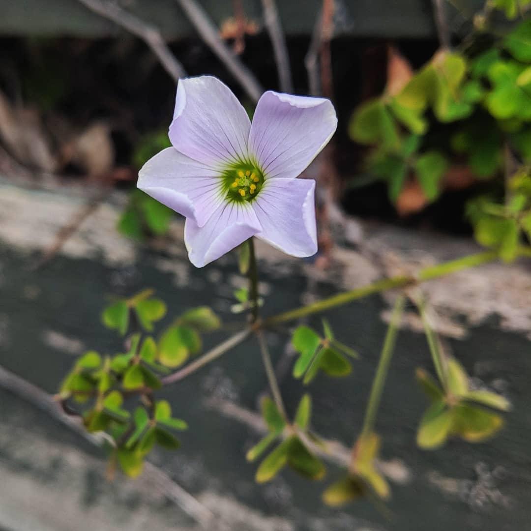 Pale wood-sorrel (<em>Oxalis incarnata</em>)