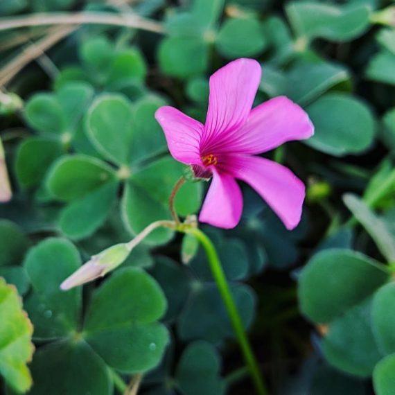 Sourgrass or Pink-sorrel (<em>Oxalis articulata</em>)