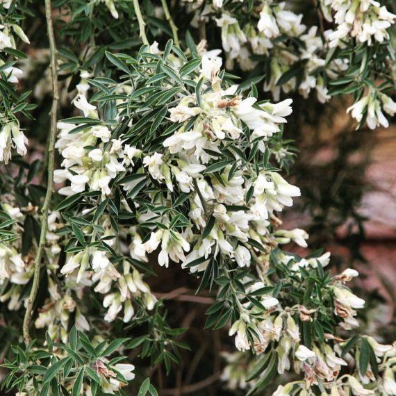 Tree Lucerne (<em>Cytisus proliferus</em>)