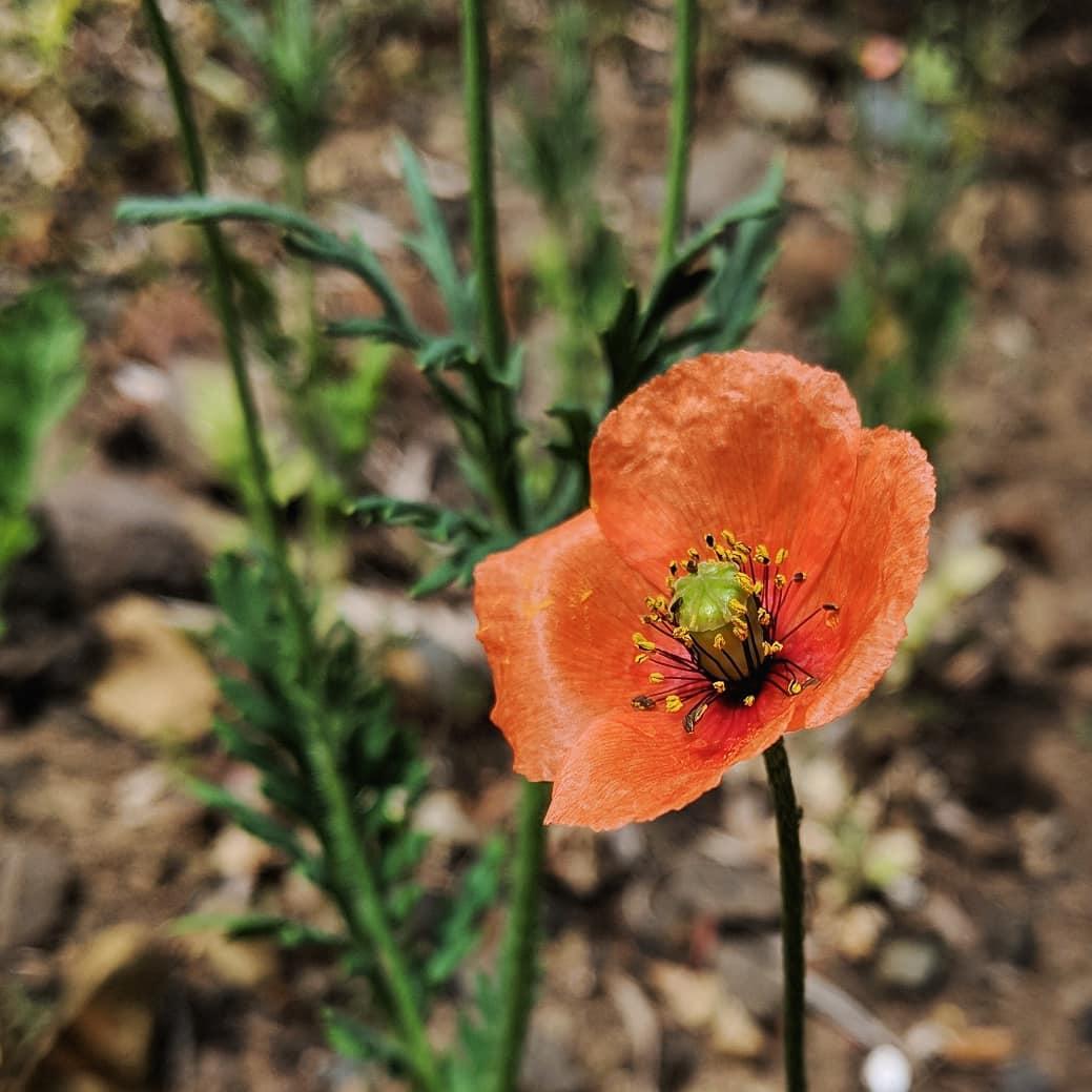 Long-headed Poppy (<em>Papaver dubium</em>)