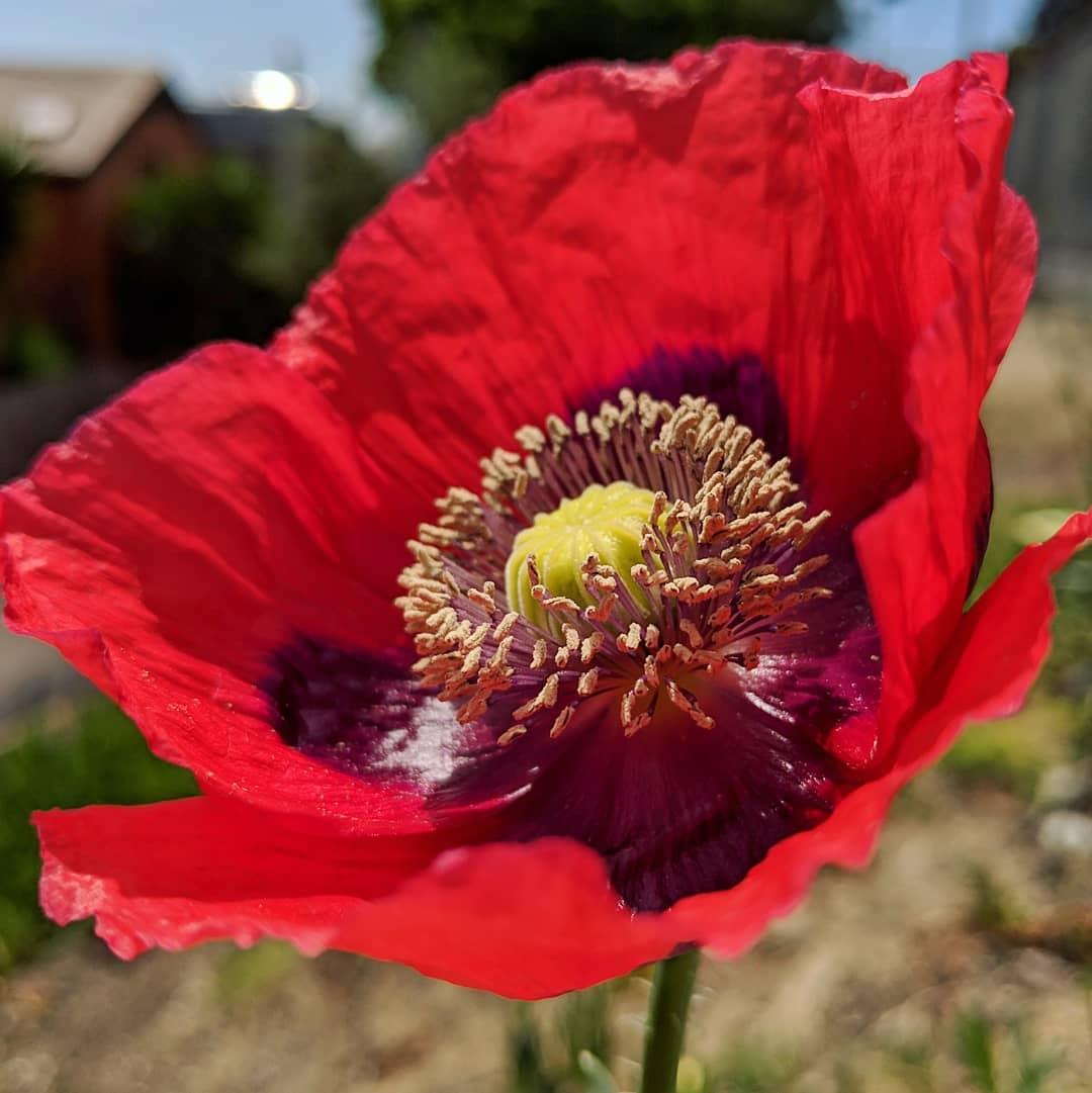 Opium Poppy (<em>Papaver somniferum</em>)