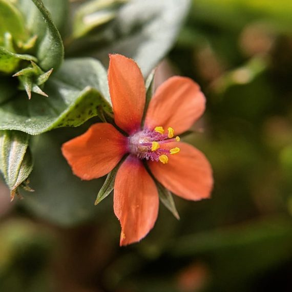 Pimpernel (<em>Lysimachia arvensis</em>)