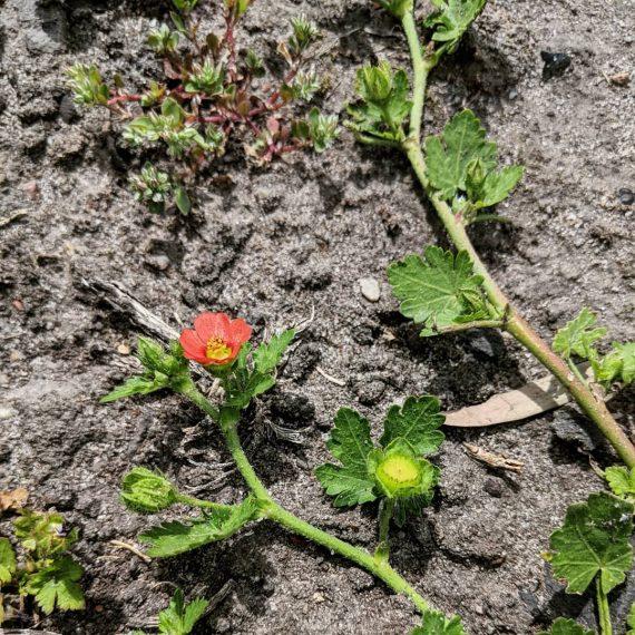 Red-flowered Mallow (<em>Modiola caroliniana</em>)