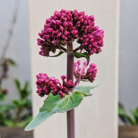 Red Valerian (<em>Centranthus ruber ssp. ruber</em>)
