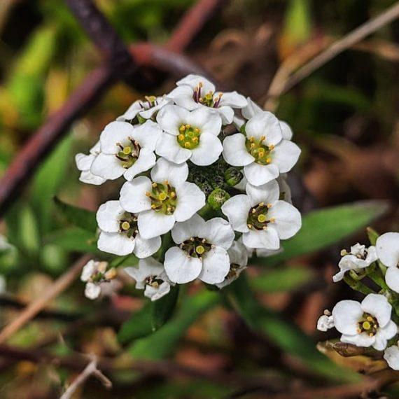 Sweet Alyssum (<em>Lobularia maritima</em>)