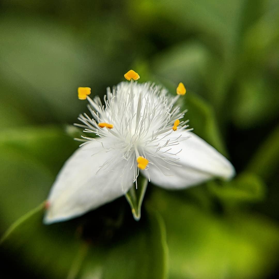 Water Spiderwort (<em>Tradescantia fluminensis</em>)