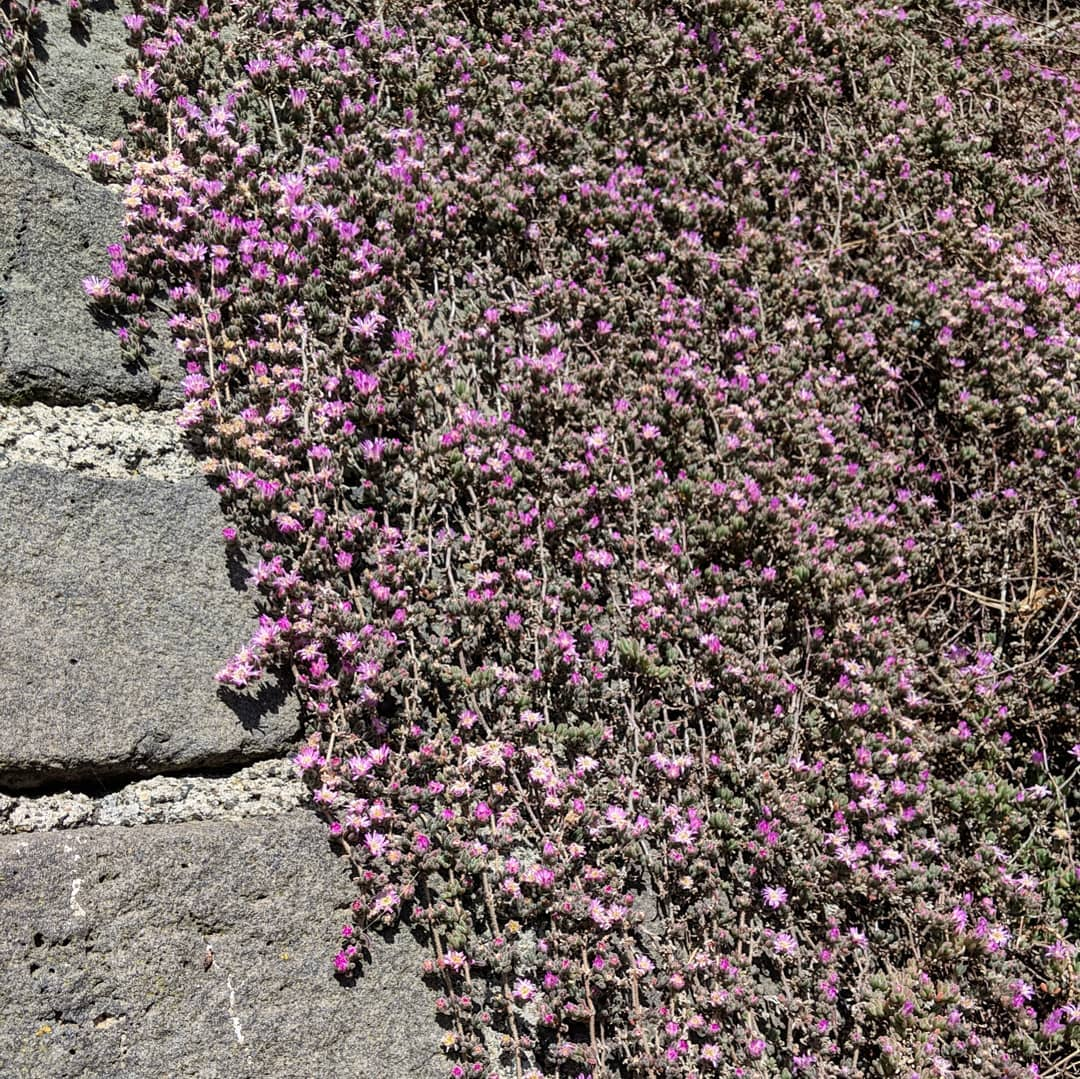 Dew Flower (<em>Drosanthemum candens</em>)
