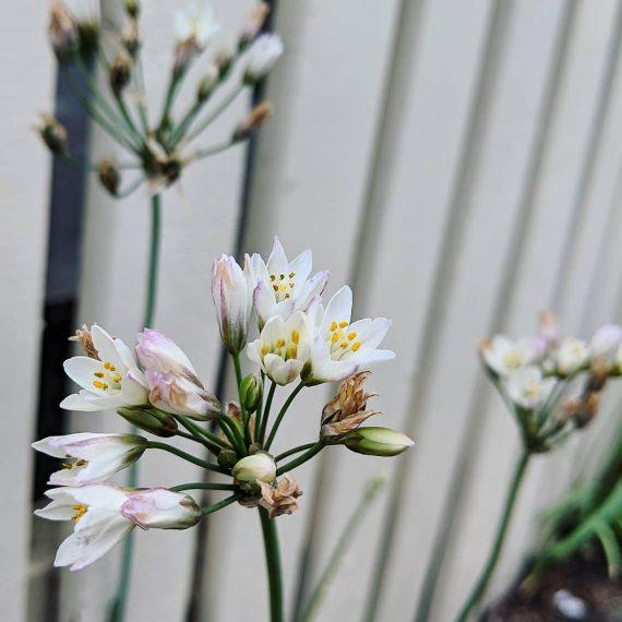 Fragrant False-garlic (<em>Nothoscordum borbonicum</em>)