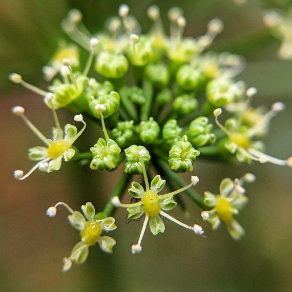 Parsley (<em>Petroselinum crispum</em>)