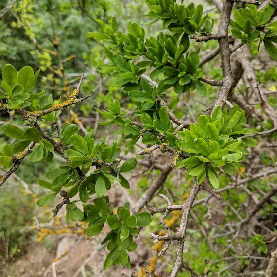 African boxthorn (<em>Lycium ferocissimum</em>)