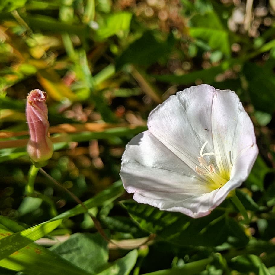 Common or Field Bindweed (<em>Convolvulus arvensis</em>)