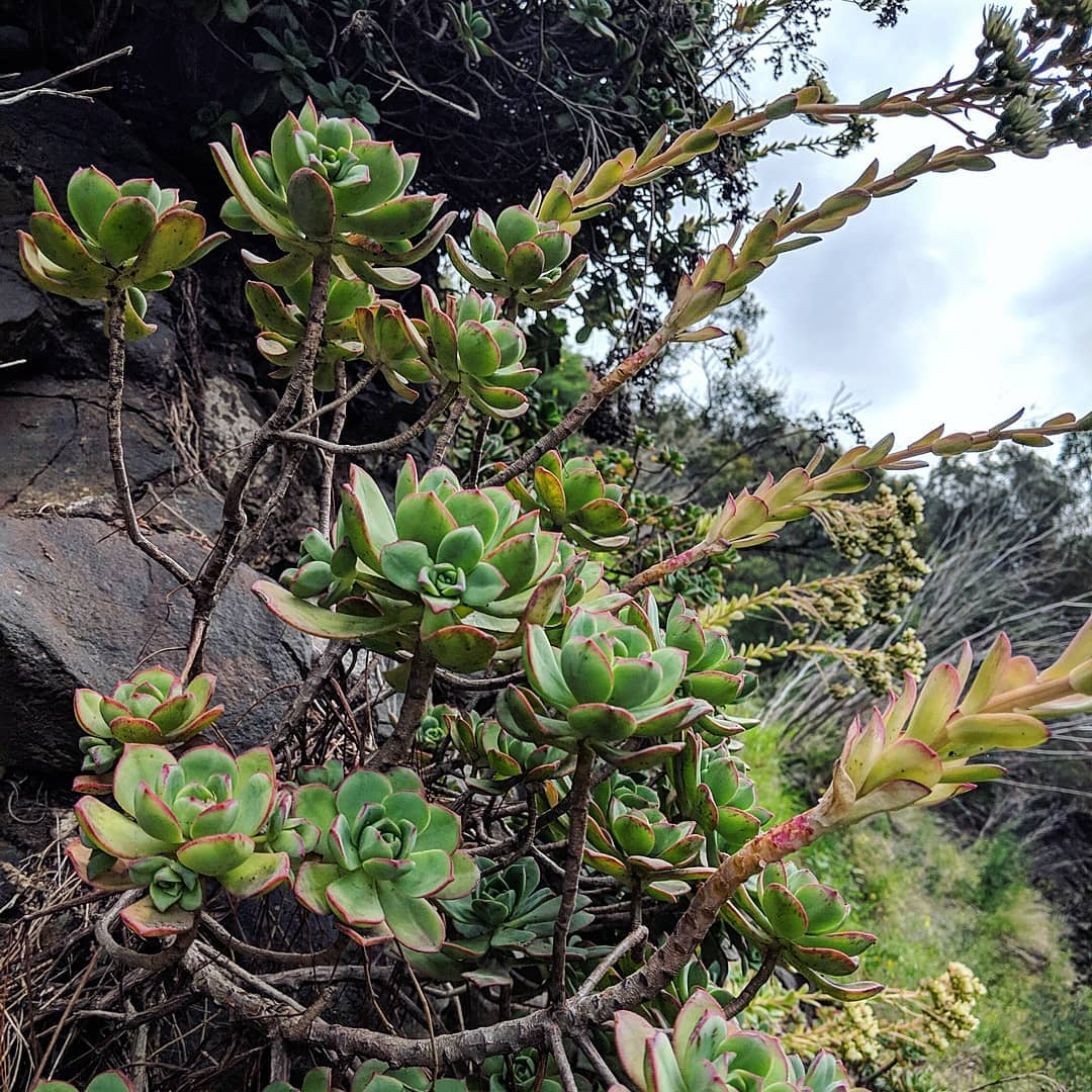 Pinwheel Aeonium (<em>Aeonium haworthii</em>)