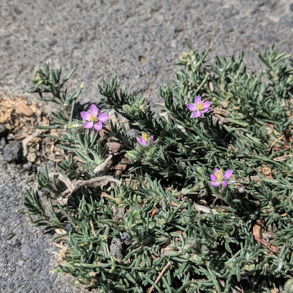 Sandspurry (<em>Spergularia rubra</em>)