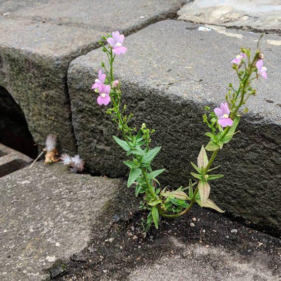 Nemesia hybrid cultivars (<em>Nemesia cv.</em>)