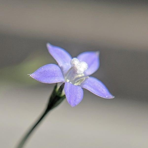 Sprawling Bluebell (<em>Wahlenbergia gracilis</em>)