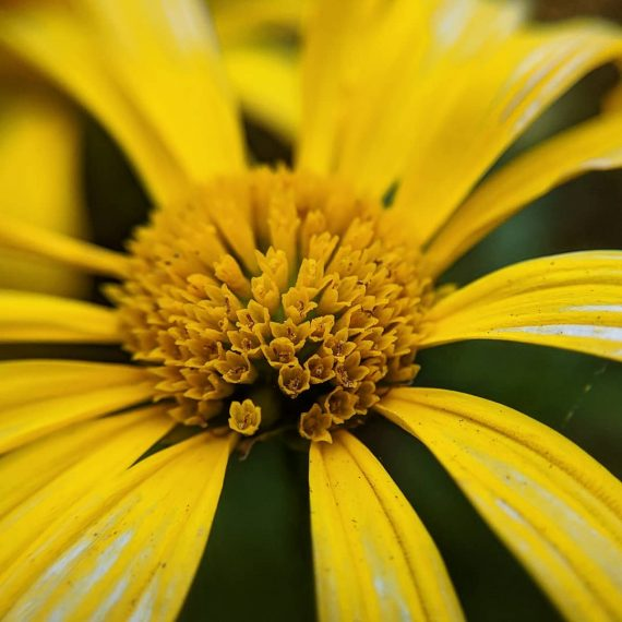 African bush daisy (<em>Euryops chrysanthemoides</em>)