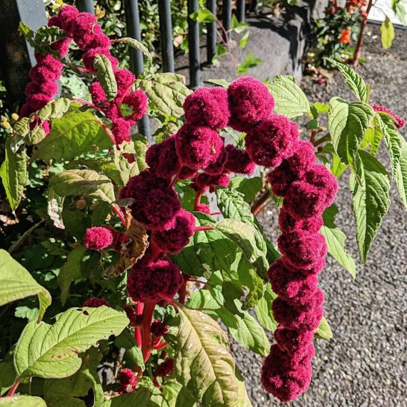 Love-lies-bleeding, Tassel Flower, Grain Amaranth (<em>Amaranthus caudatus</em>)