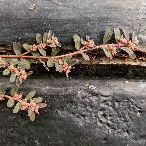 Spotted Spurge (<em>Euphorbia maculata</em>)