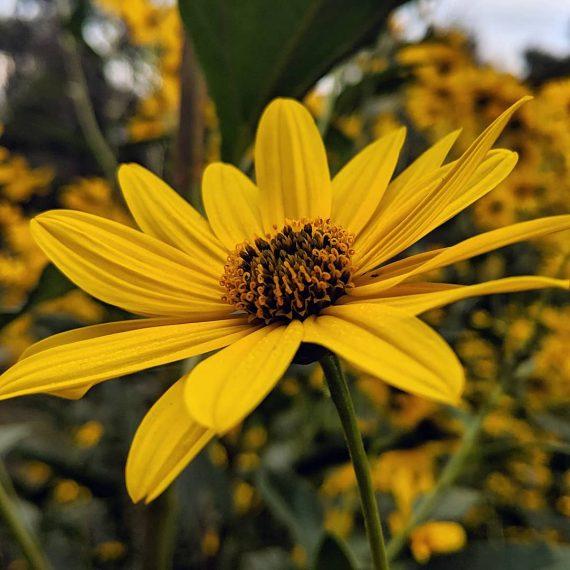 Sunflower Artichoke (<em>Helianthus tuberosus</em>)