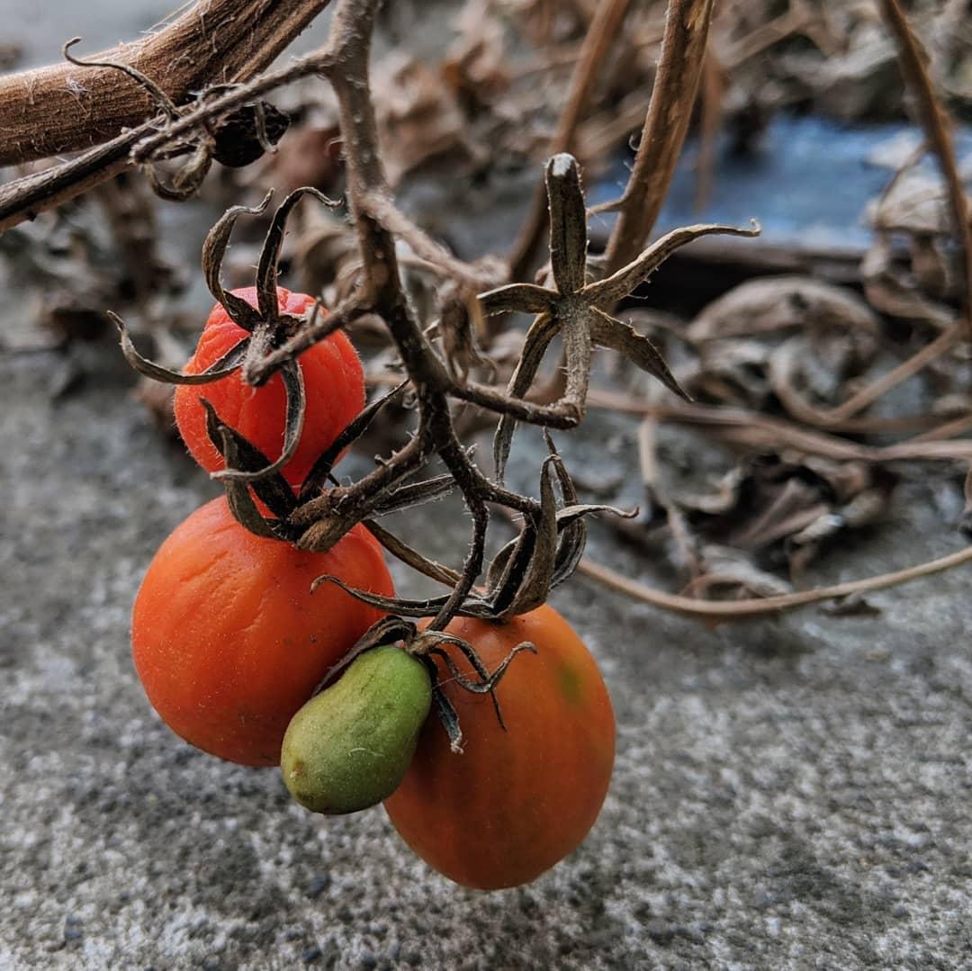 Tomato (<em>Solanum lycopersicum</em>)