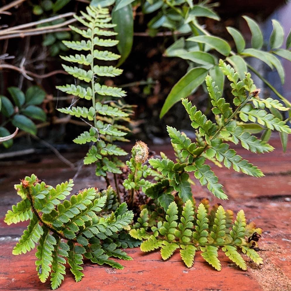 Unidentified shield fern (<em>Polystichum sp.</em>)