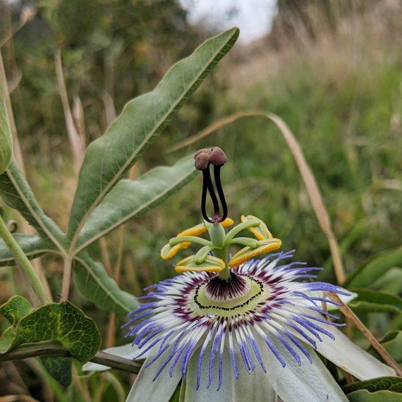 Blue Passionflower (<em>Passiflora caerulea</em>)