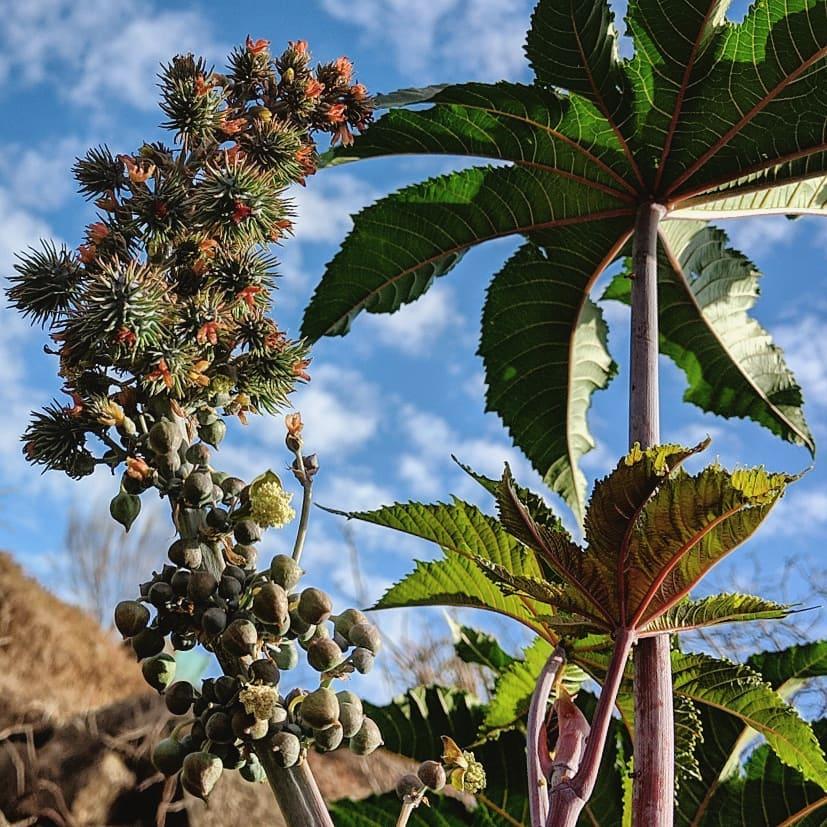 Castor Oil Plant (<em>Ricinus communis</em>)