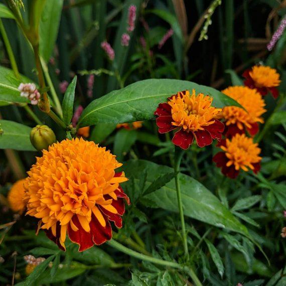 Mexican Marigold (<em>Tagetes erecta syn T. patula</em>)