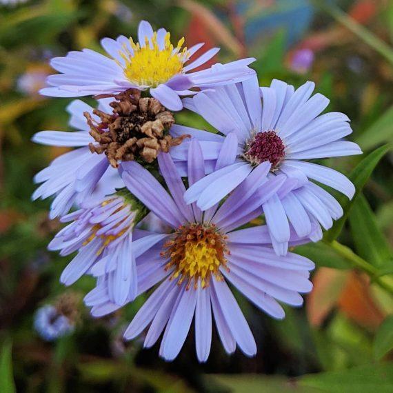 New York Aster or Michaelmas Daisy (<em>Symphyotrichum novi-belgii</em>)
