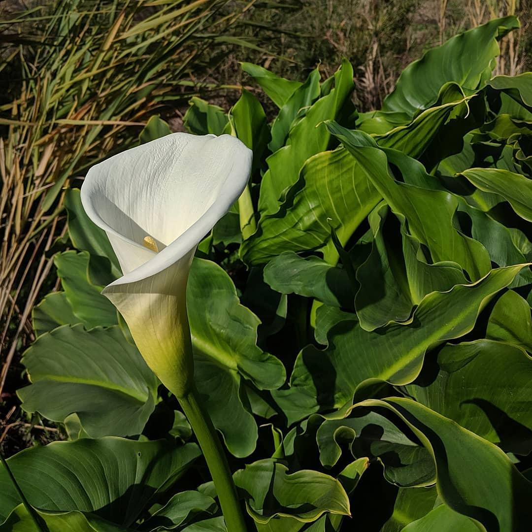Arum Lily (<em>Zantedeschia aethiopica</em>)