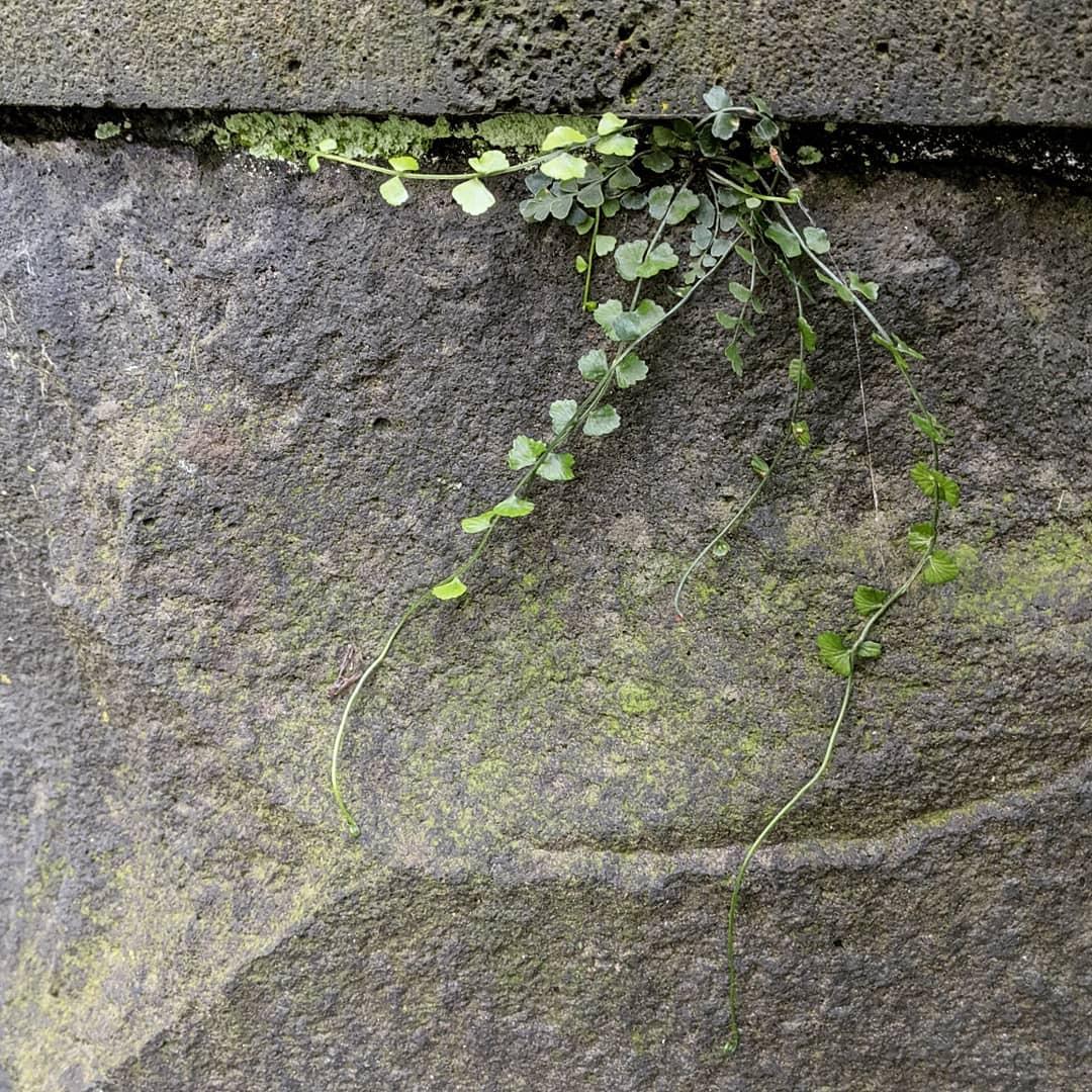 Necklace Fern (<em>Asplenium flabellifolium</em>)