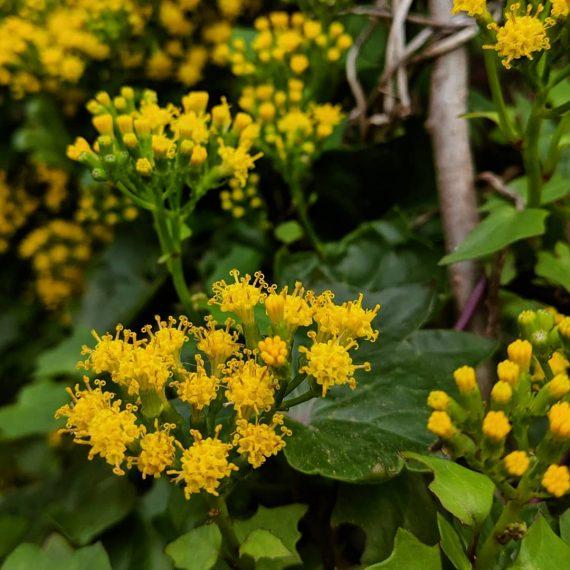 Cape Ivy (<em>Delairea odorata</em>)