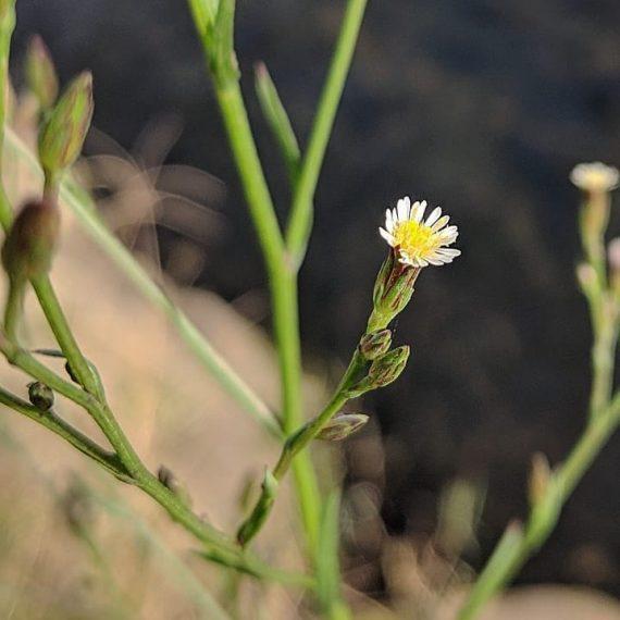 Annual Saltmarsh Aster or Aster-weed (<em>Symphyotrichum subulatum</em>)