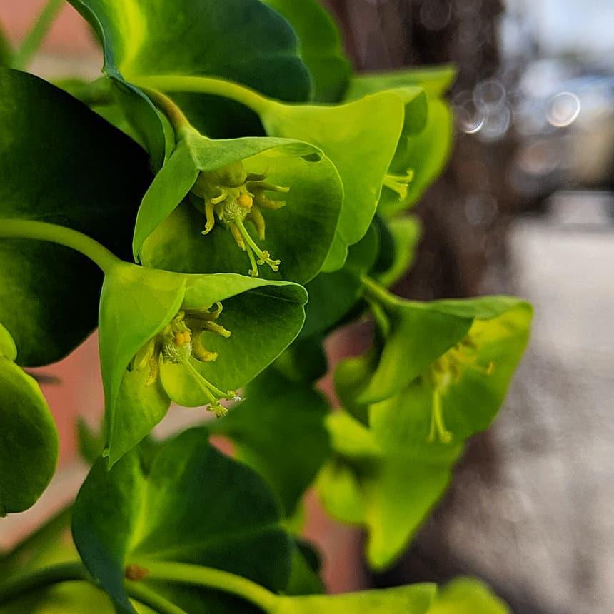 Large Mediterranean Spurge (<em>Euphorbia characias</em>)