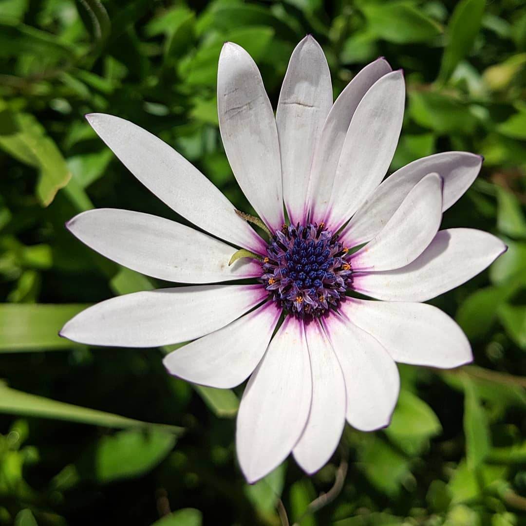Trailing African Daisy (<em>Dimorphotheca fruticosa</em>)