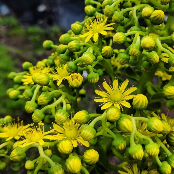 Tree Aeonium (<em>Aeonium arboreum</em>)