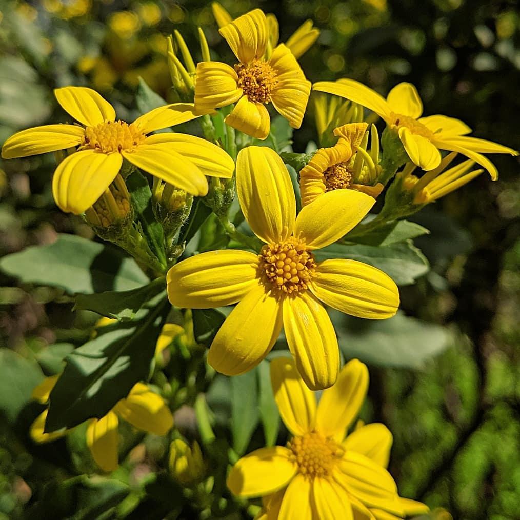 Boneseed (<em>Chrysanthemoides monilifera ssp. monilifera</em>)