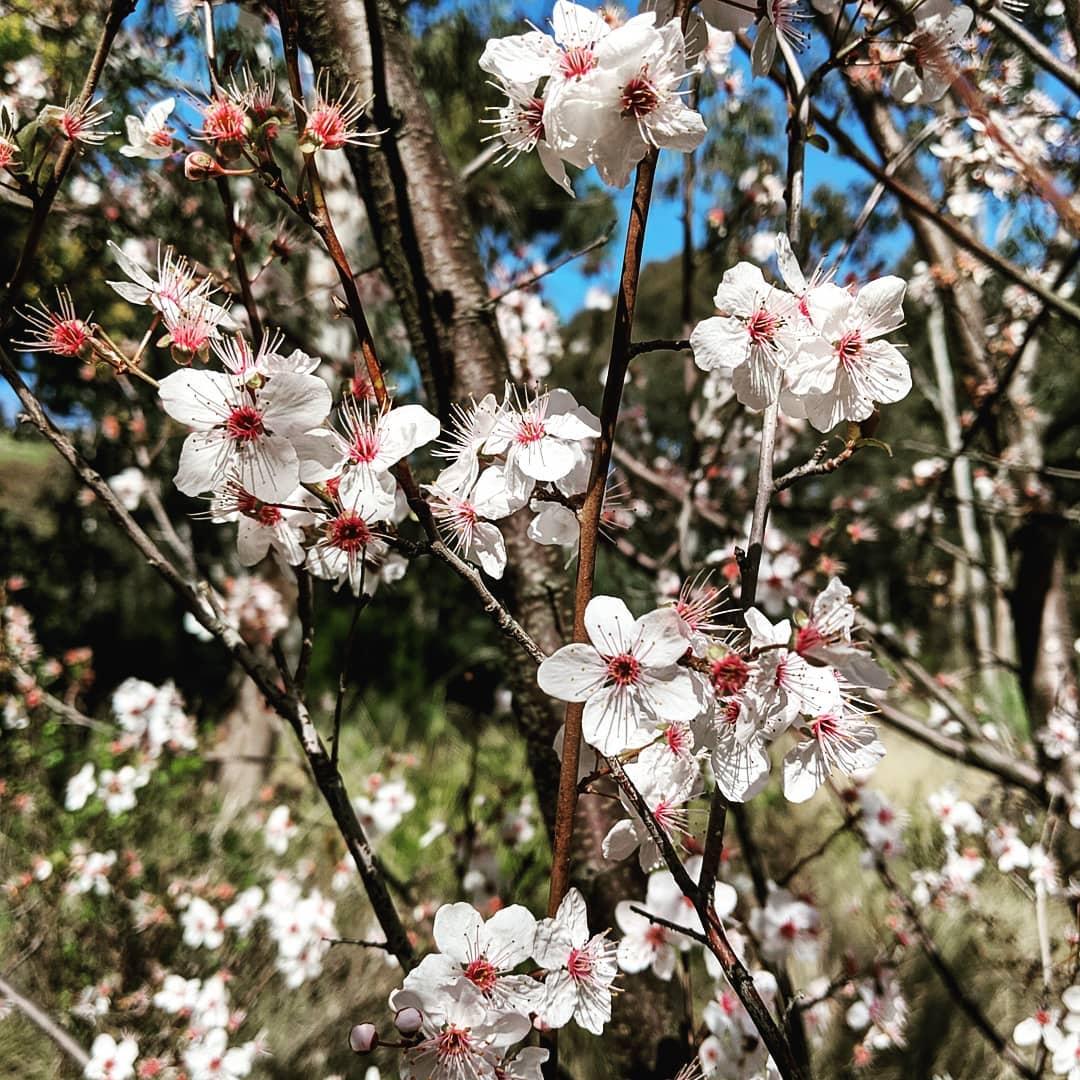 Cherry Plum (<em>Prunus cerasifera</em>)