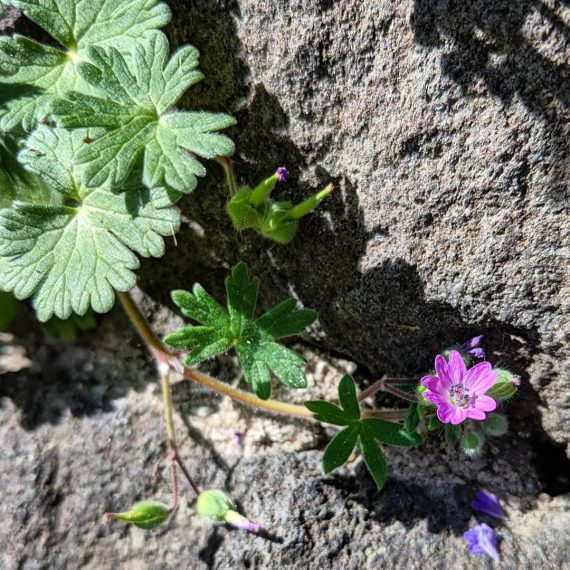 Dove's-foot Crane's-bill (<em>Geranium molle</em>)
