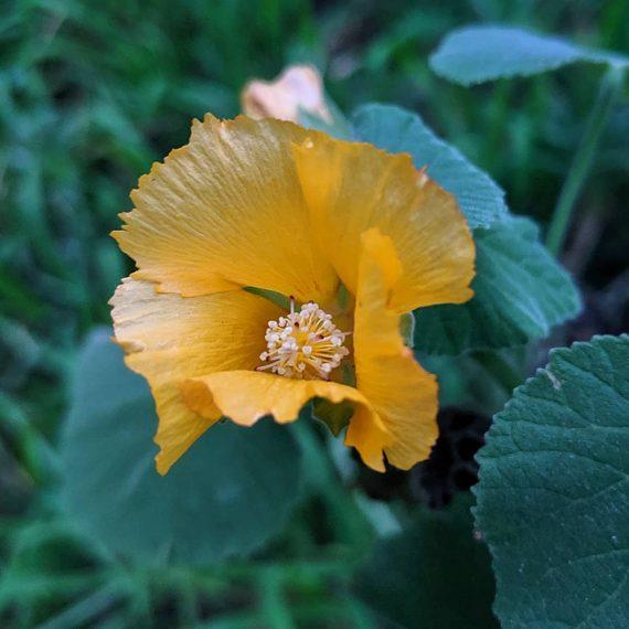 Hairy Abutilon (<em>Abutilon grandifolium</em>)